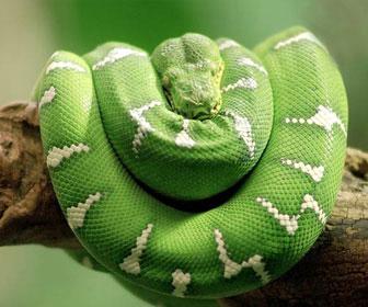 Boa smeraldino