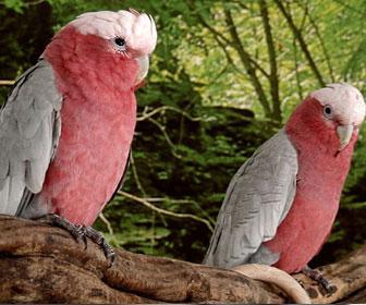 Cacatua rosato