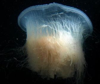 Drymonema dalmatinum