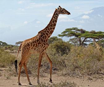 Giraffa masai