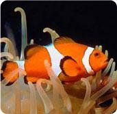Sapere dalla rete pesce pagliaccio for Pesce pagliaccio foto