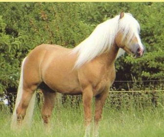 Pony avelignese