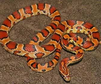 Serpente del grano
