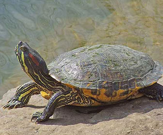 Tartaruga dalle orecchie rosse mille animali for Temperatura tartarughe