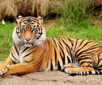Tigre mille animali for Disegni delle tigri