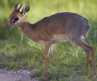 Antilope dik dik