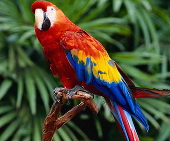 Risultati immagini per uccelli dell'amazzonia
