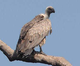 Avvoltoio dorsobianco