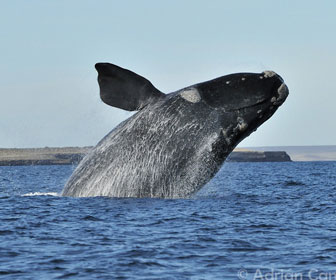 Balena australe