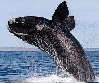 Balena artica
