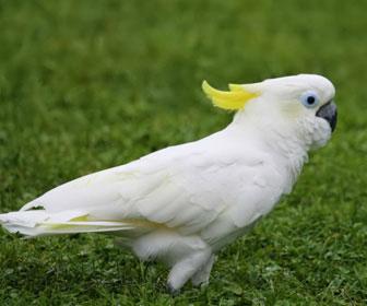 Cacatua ciuffo giallo