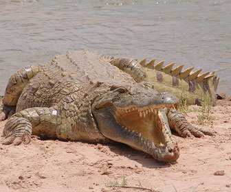 Coccodrillo Mille Animali