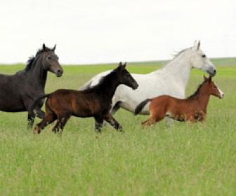 Le razze del cavallo
