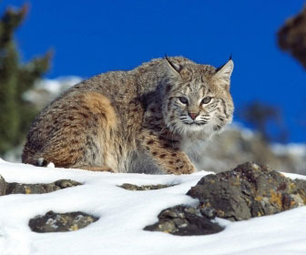 Lince rossa