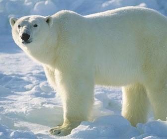 Orso polare mille animali for Affittare una cabina grande orso