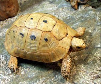 Tartaruga greca dorata