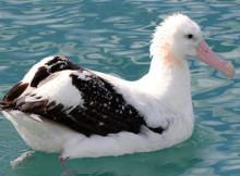 albatro-urlatore-2.jpg