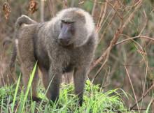 babbuino-della-guinea-1.jpg