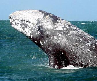balena-grigia-1.jpg
