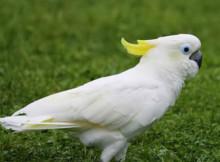 cacatua-ciuffo-giallo-2.jpg