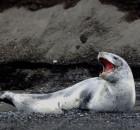 foca-leopardo-1.jpg