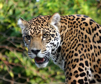 giaguaro-1.jpg
