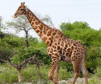 giraffa-1.jpg