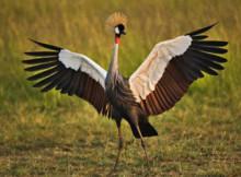 gru-coronata-africana-2.jpg