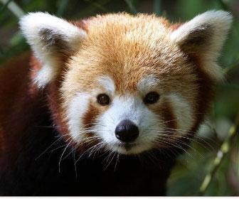 panda-minore-1.jpg