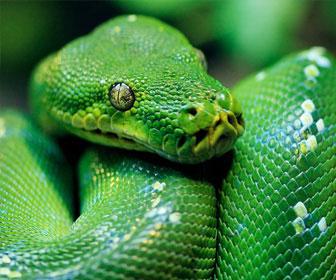 Pitone verde mille animali for Nomi di rettili