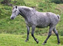 pony-connemara-2.jpg