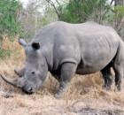 rinoceronte-bianco-1.jpg
