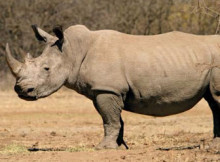 rinoceronte-nero-1.jpg