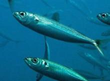 sardina-1.jpg