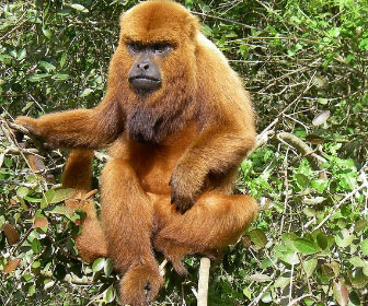 scimmia-urlatrice-1.jpg