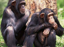 scimpanze-1.jpg