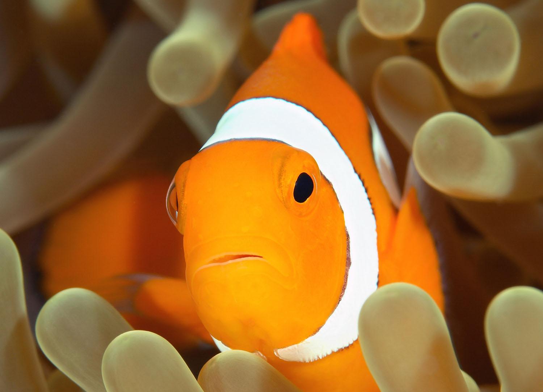 L acidificazione degli oceani sta compromettendo l udito for Pesce pagliaccio foto