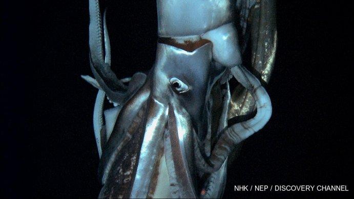 Calamaro gigante - primo video