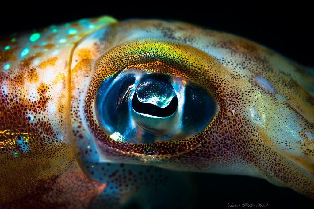 Occhio di calamaro