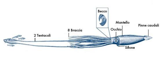 Anatomia del calamaro gigante