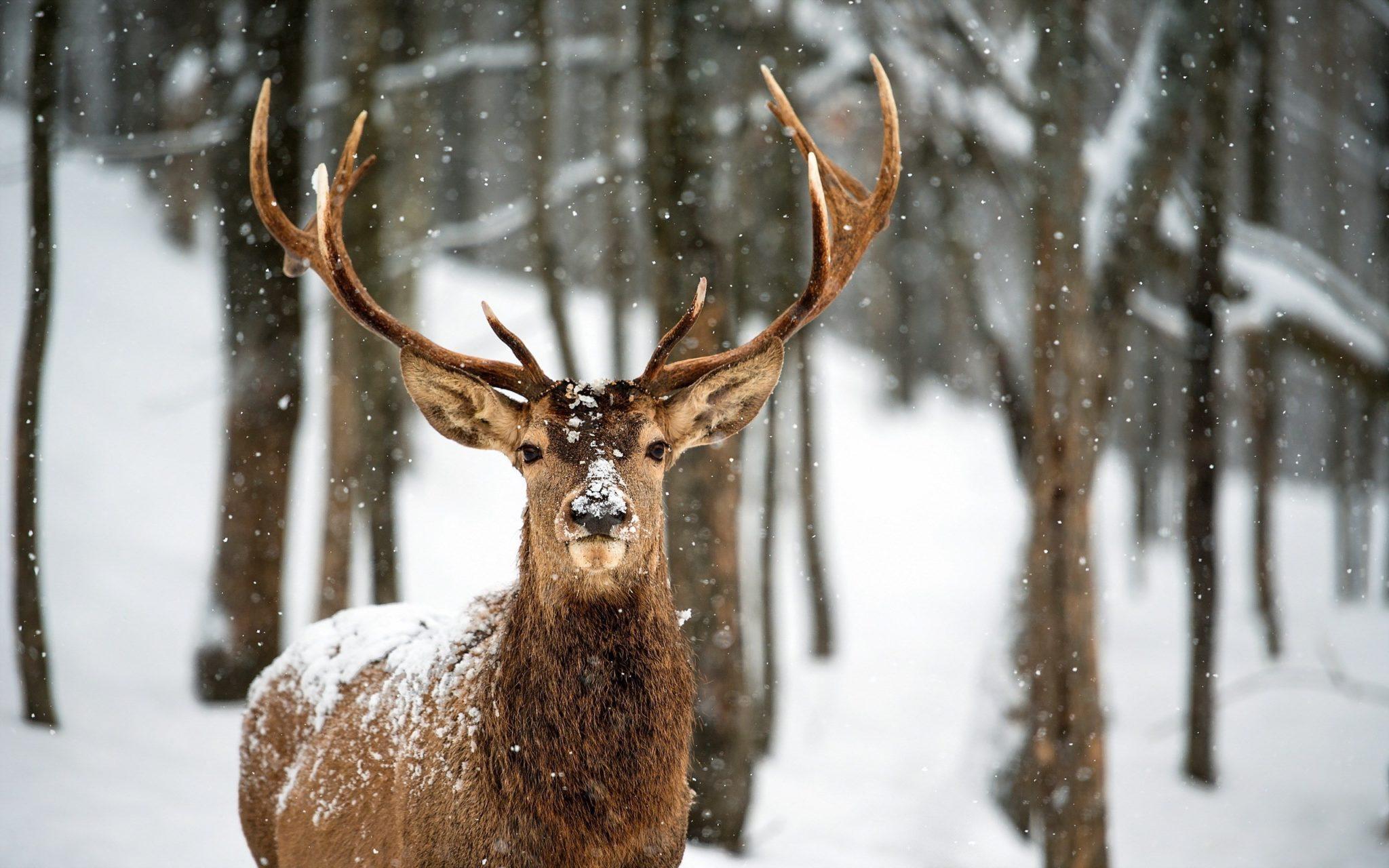 Cervo inverno
