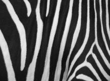 Le strisce della zebra