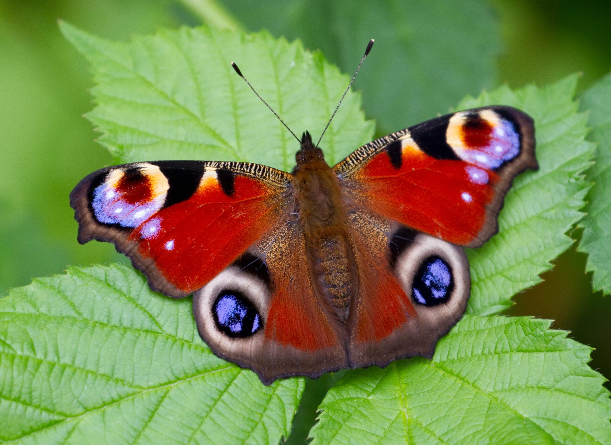 Conservazione delle farfalle