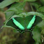Farfalla smeraldo