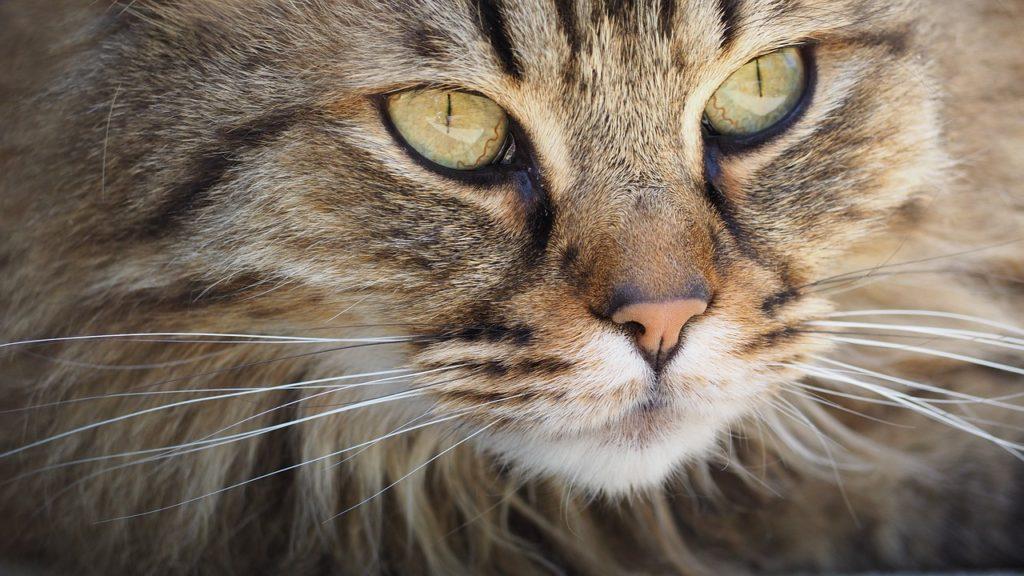 Le 10 Razze Di Felini Più Strane Mille Animali