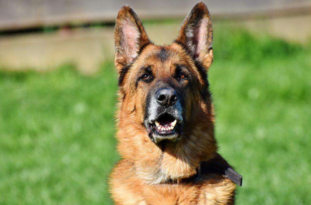 Le 10 Migliori Razze Di Cani Da Guardia Mille Animali