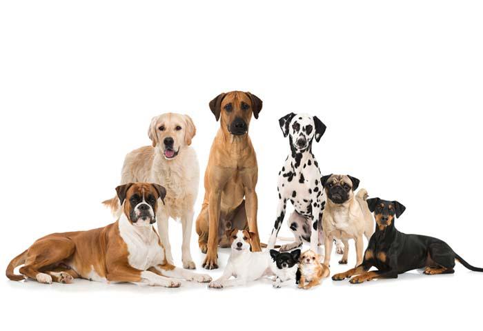 Razze di cani elenco completo mille animali for Cane da pastore della russia meridionale