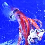 Calamaro colossale