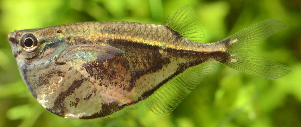 Pesce accetta
