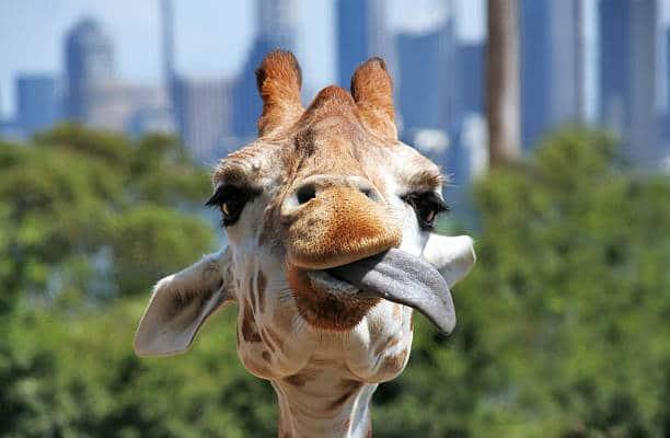 Giraffa con la lingua fuori dalla bocca